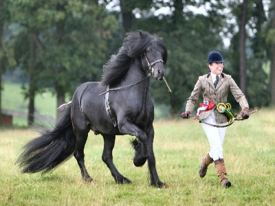 The Dales Pony really using his knees and hocks for a powerful drive (Photo: A & J Equine Photography)
